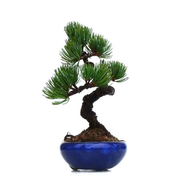vente de bonsai pinus pentaphylla pin blanc du japon shohin 20 cm ppjp131110 sankaly bonsa. Black Bedroom Furniture Sets. Home Design Ideas
