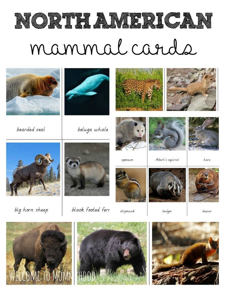 Free printables North American Animals 3 part cards by