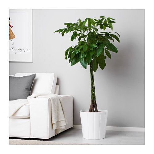Pachira aquatica potted plant guinea chestnut plants for Ikea plantes