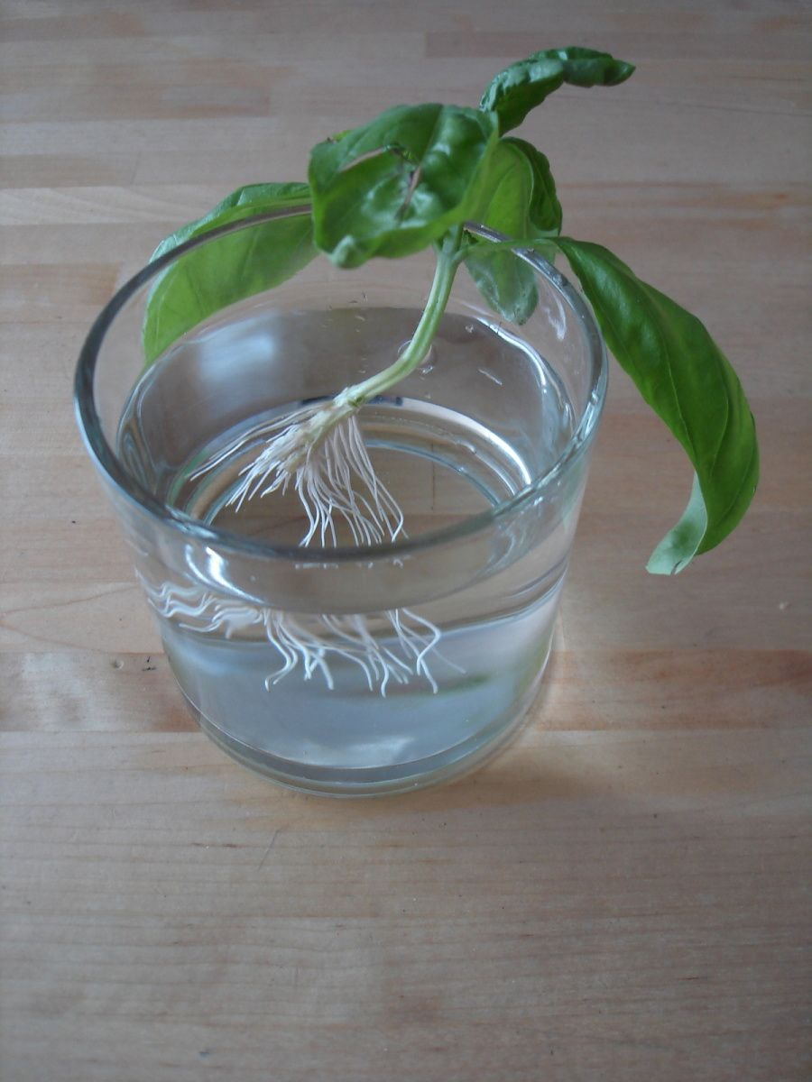 Comment Arroser Mes Plantes Pendant Les Vacances mes boutures de basilic | boutures, bouture basilic et