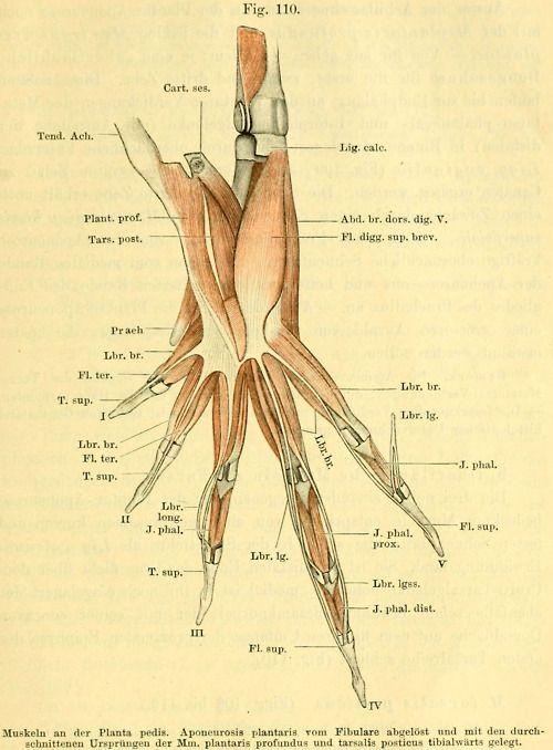 Muscles in a frog limb From: \'Anatomie des Frosches. 3. Aufl. [Von ...