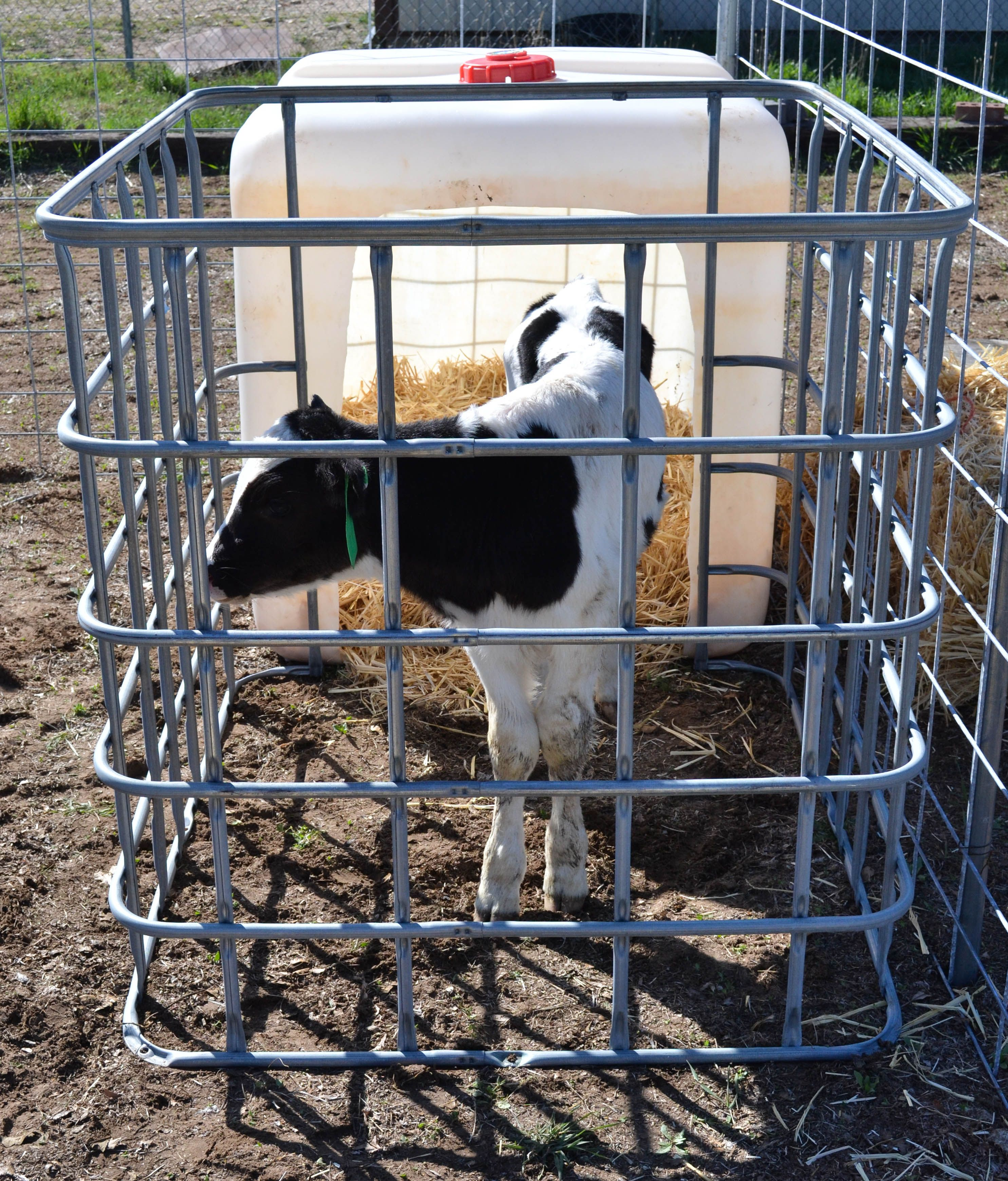 Diy Calf Hutch Check Out My Step By Step Process For