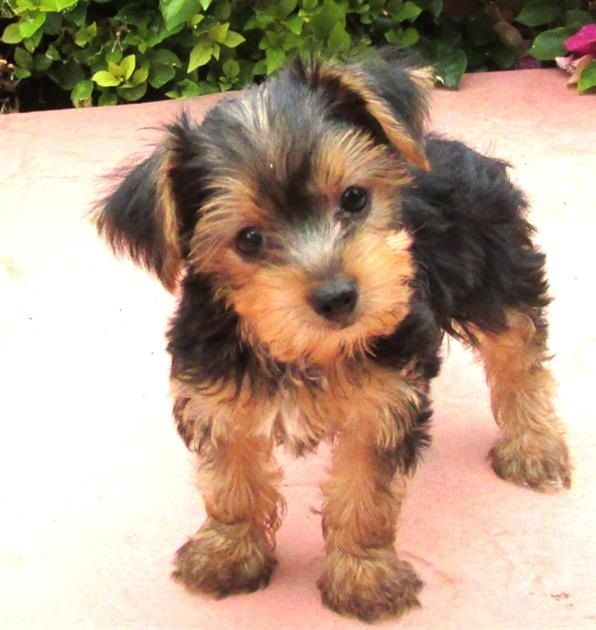 One Of The Largest Independent Online Retailers In The Uk Yorkshire Terrier Puppies Yorkshire Terrier Dog Yorkshire Terrier