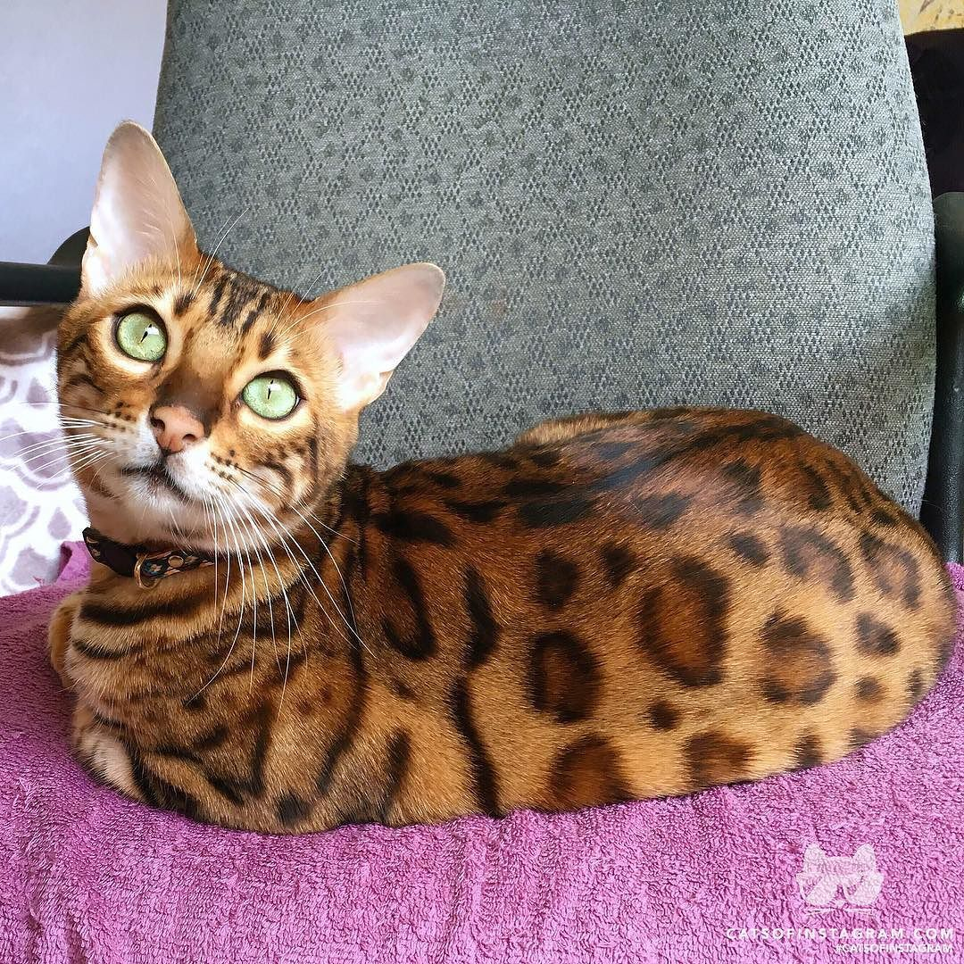 """Cats of Instagram From Bensonthebengal """"What's up"""