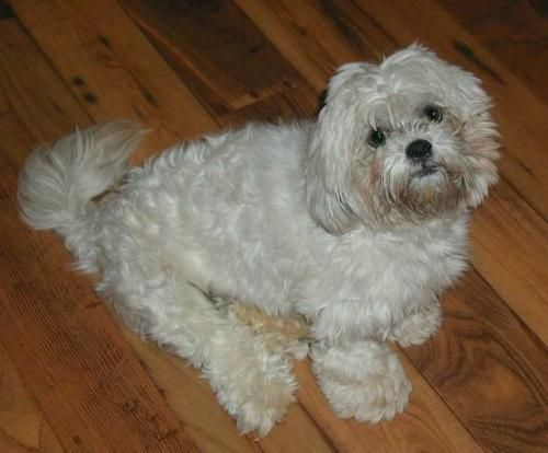 Meet Malibu, an adoptable Lhasa Apso looking for a forever home. If you're looking for a new pet to adopt or want information on how to get involved with adoptable pets, Petfinder.com is a great resource.