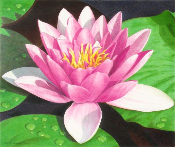 Lily Pad Drawing One Of Macdragon S Roses Colored Pencils On