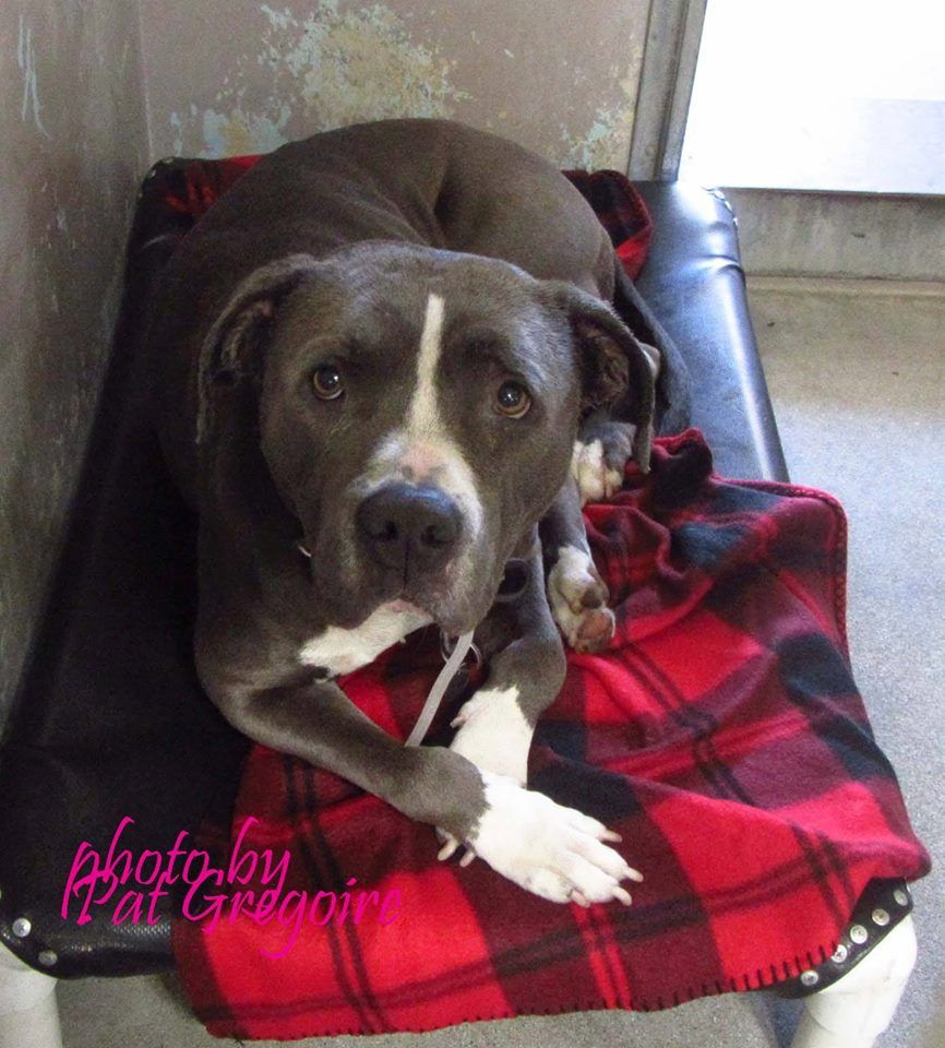 A4787578 My name is Rocky. I am a very friendly 3 yr old blue/white male pit bull mix. My family left me here on Dec 29. available now Baldwin Park shelter https://www.facebook.com/photo.php?fbid=899376806740824&set=a.705235432821630&type=3&theater