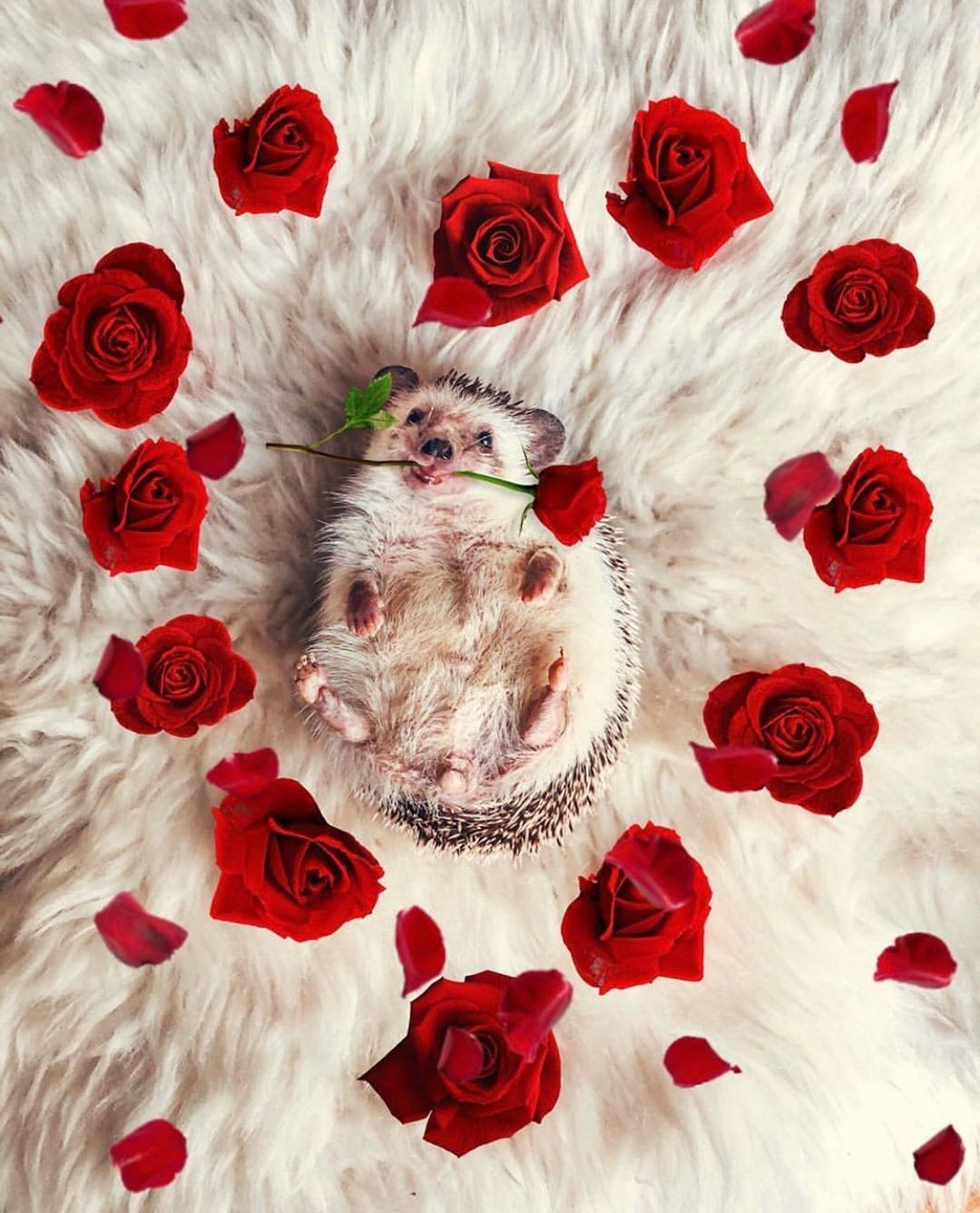 Will you accept this rose? 📸: @mr.pokee🌹#photography #photographylovers #photographysouls #photographyeveryday #hedgehog #hedgie #hedgephotos #valentinesday #mymodernmet