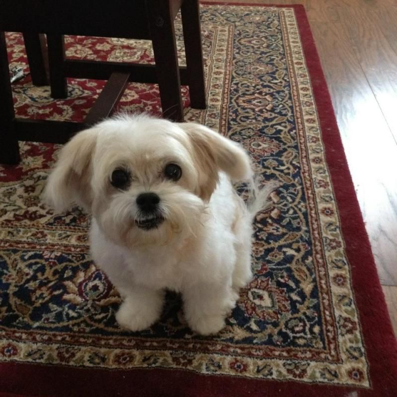 Adopt Lenora On Maltese Dogs Dogs Pets