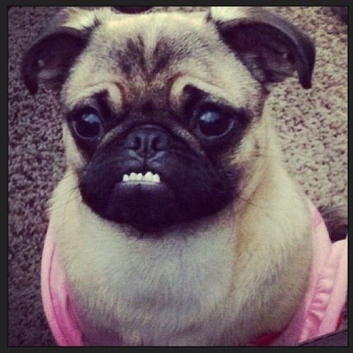 Total Underbite Cute Pugs Pug Puppies Pug Memes