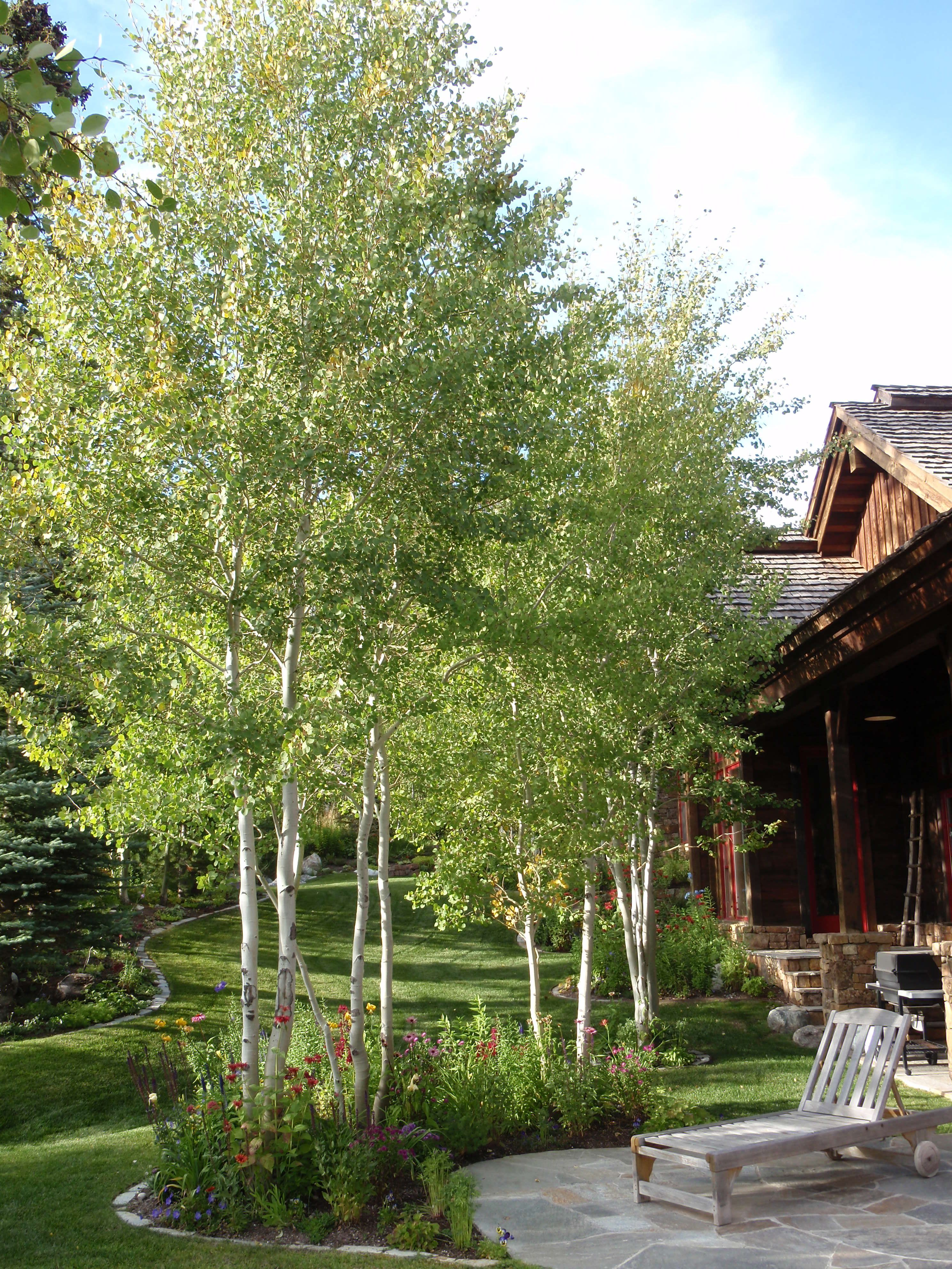 This Pretty Aspen Grove Offers Light Shade Trees For