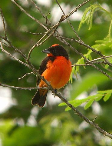 Crimson-breasted Finch (José Illánes)