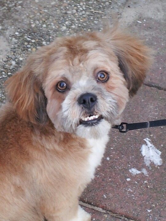 Lhasa Apso Unique Dog Breeds Dog Owner Photography Rare Dog Breeds