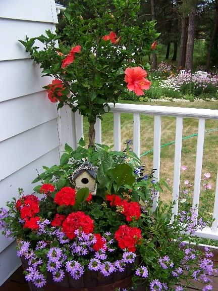 Tree Hibiscus with Geraniums and Scaevola | Landscaping | Jardins ...