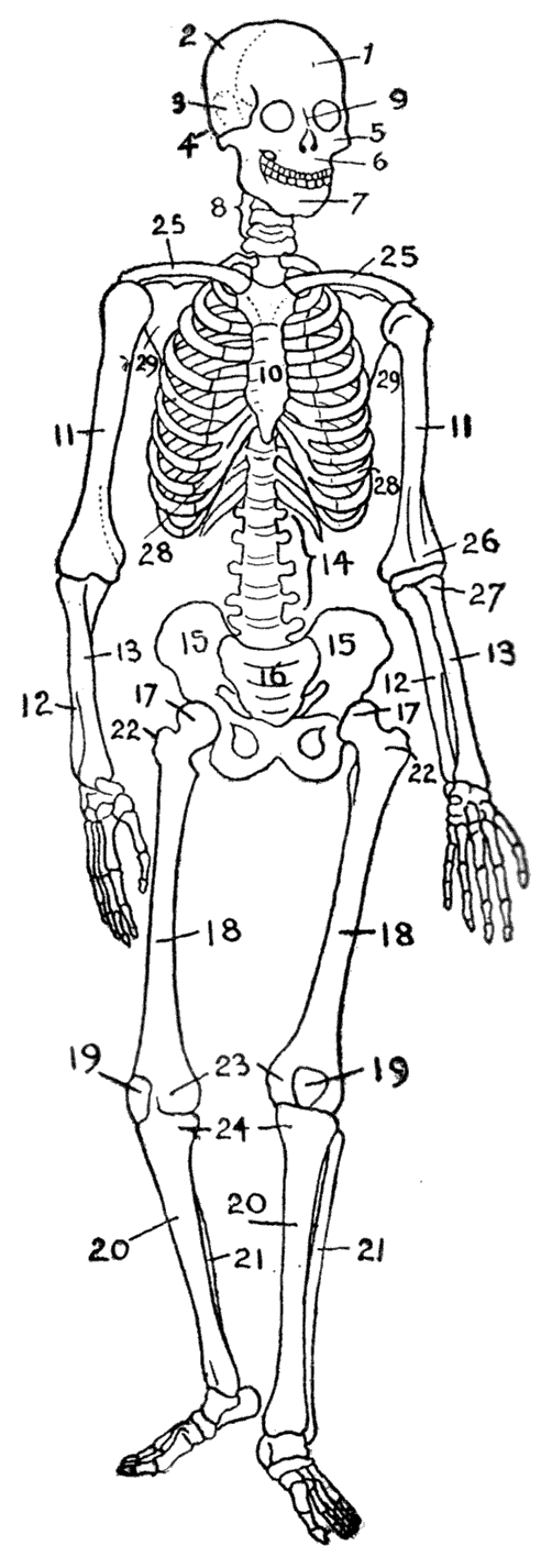 The head bones connected to the neck bone.... (With images
