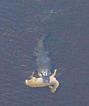 In With Mouth Alligator Swimming Deer His