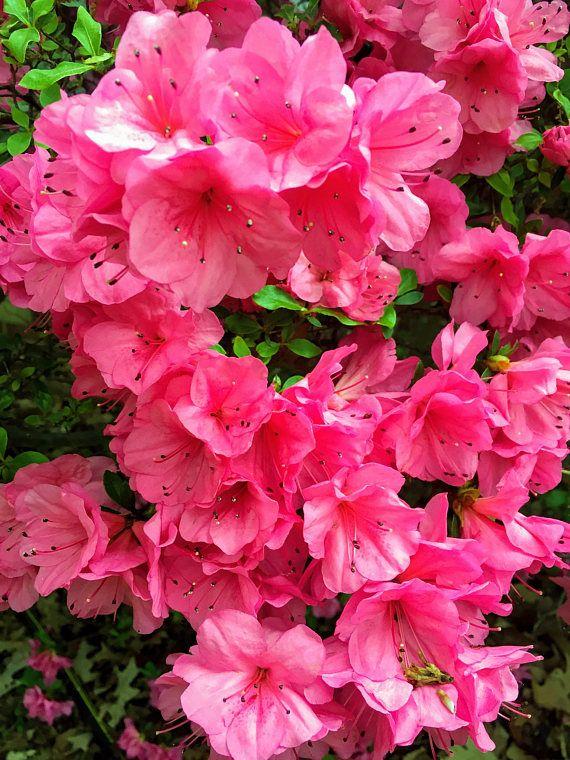 Rosa Azalea Arbusto Flor De Azalea Fotografia Digital Azalea Flower Pink Azaleas Flower Landscape