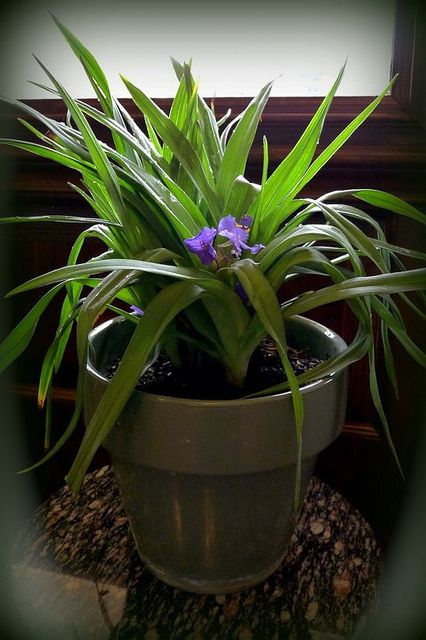 Common Name: Spiderwort, Cow Slobber, Indian Paint, Widow's Tears, Moses in the Bulrushes, Dayflower, Trinity Flower.  Scientific Name: Tradescantia virginiana (Named for John Tradescant, the royal gardener of King Charles I of England. In 1637 his so Simple and Healthy Beauty