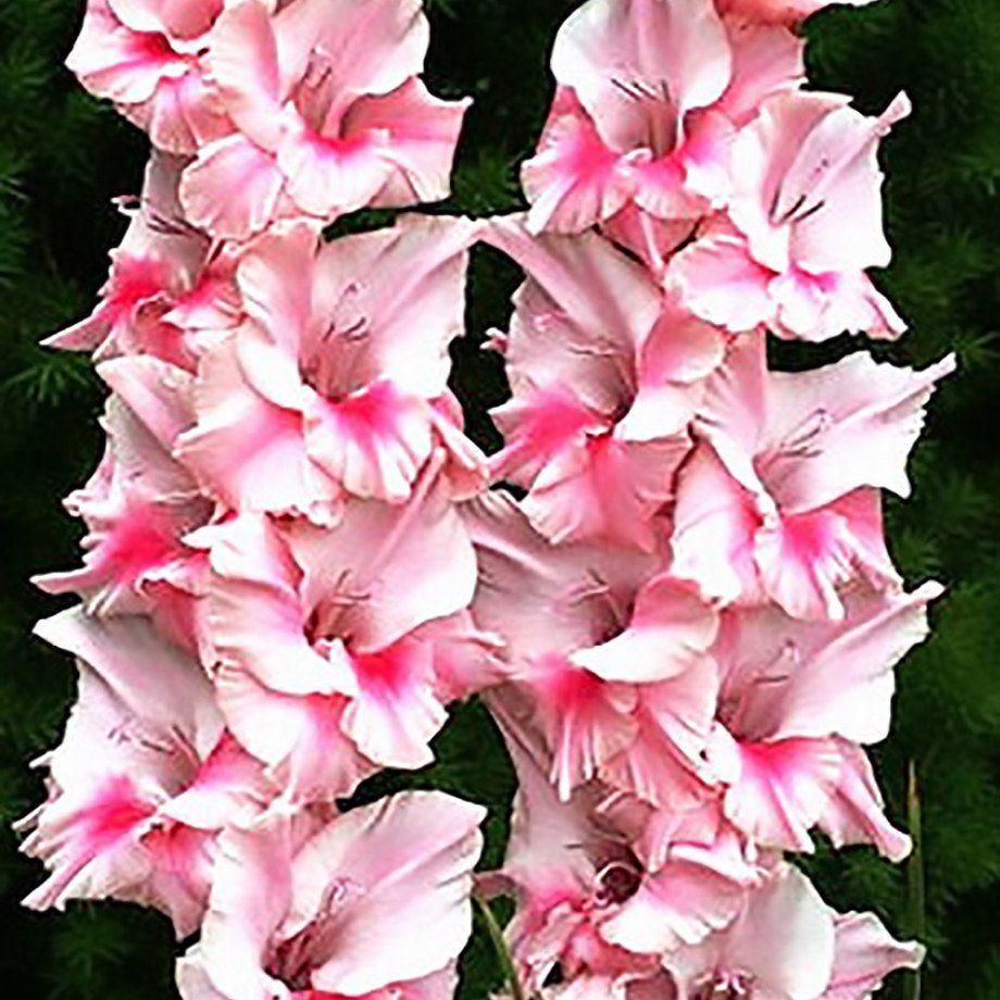 Allium Ampeloprasum Easy To Grow Bulbs Gladiolus Gladiolus Bulbs