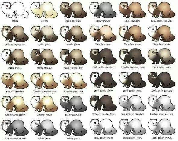 Ferret color chart Ferrets Pinterest Ferret, Cute ferrets and