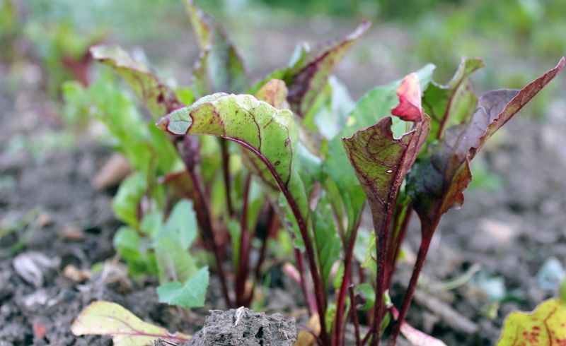 Growing Beetroot From Seeds Direct Or In Modules Plants Corn Plant Beetroot