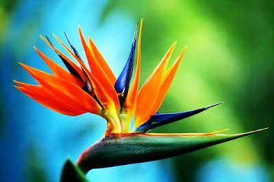 Bunga Tercantik Di Dunia Bird Of Paradise Mirip Seperti Burung Bunga Bunga Cantik Gambar Bunga
