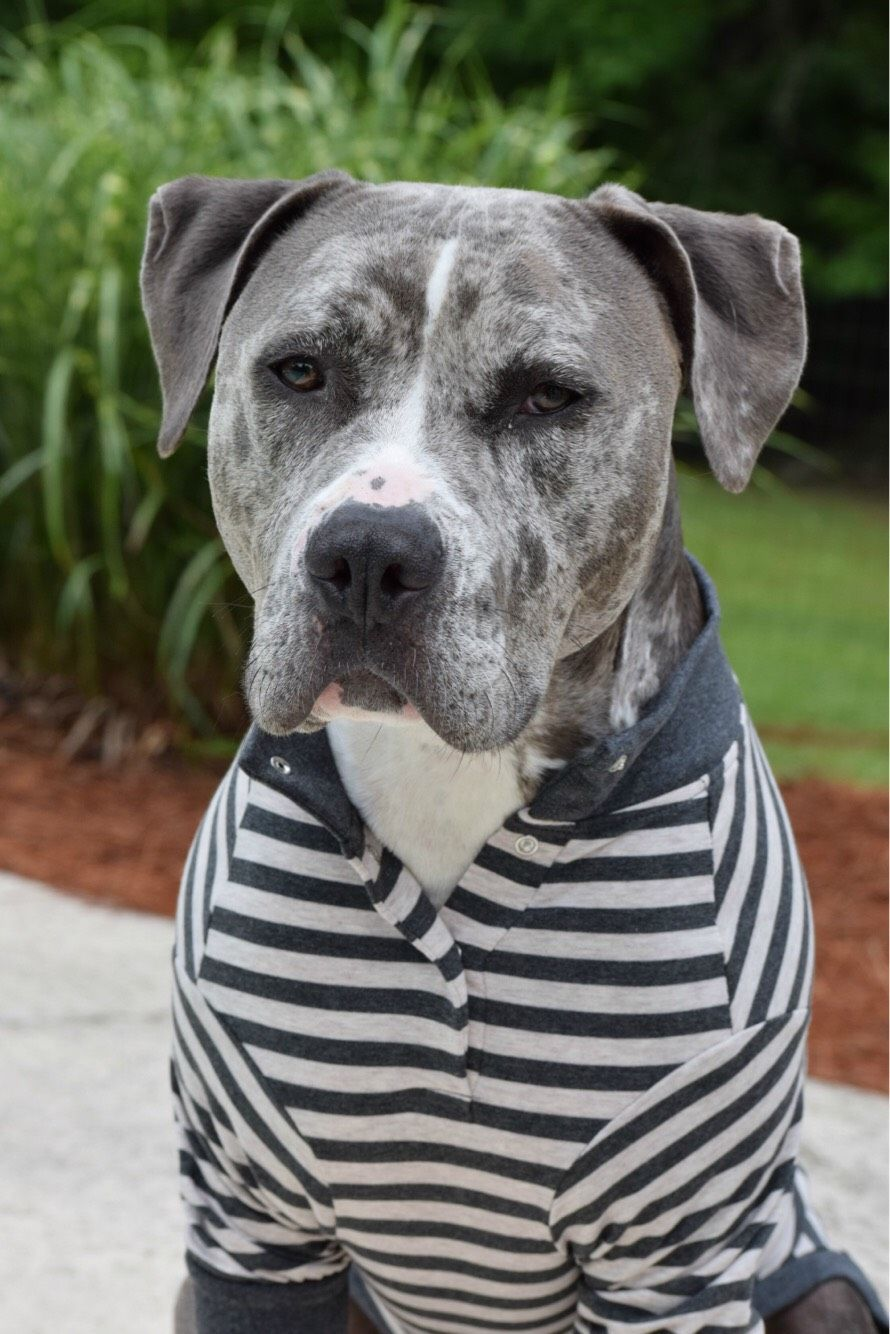 Pin On Pit Bulls In Pajamas By Tooth Honey