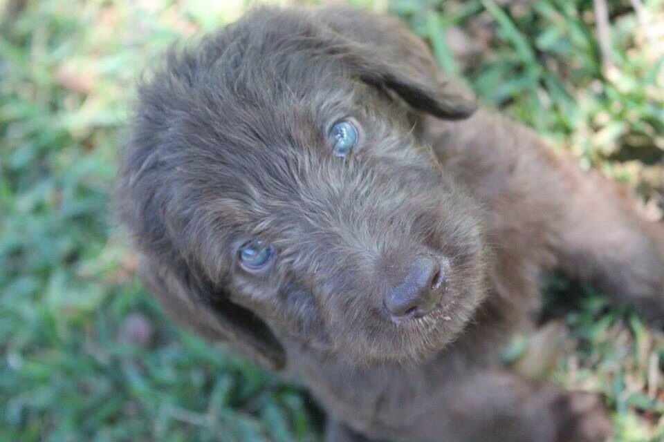 Blue Eyed Labradoodle Pup Labradoodle Pup Chocolate