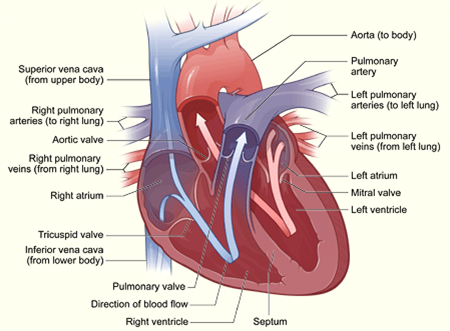 An overview of diagram of the heart health care vivo healthy an overview of diagram of the heart ccuart Choice Image