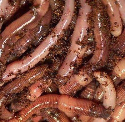 Manfaat Cacing Tanah Dan Jenis Cacing Tanah Cacing Tanah Makanan Flora