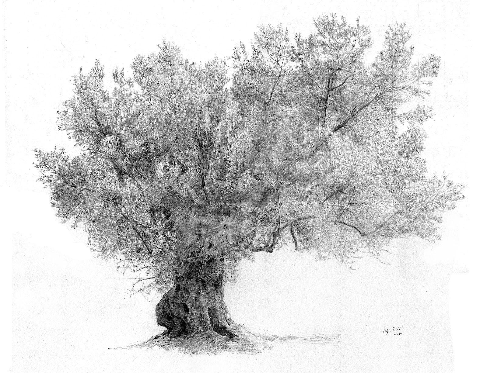 Olive Tree Drawing A黑 白 Pinterest