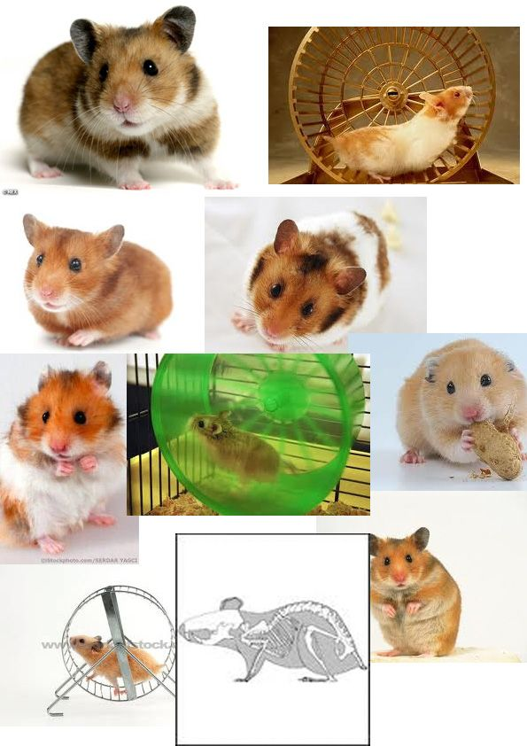 Drawing Reference For Hamsters Hamster Hamster Toys Drawings