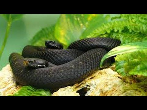 Snake Documentary 2015 Black Mamba Snakes Africas Most DANGEROUS SNAKE