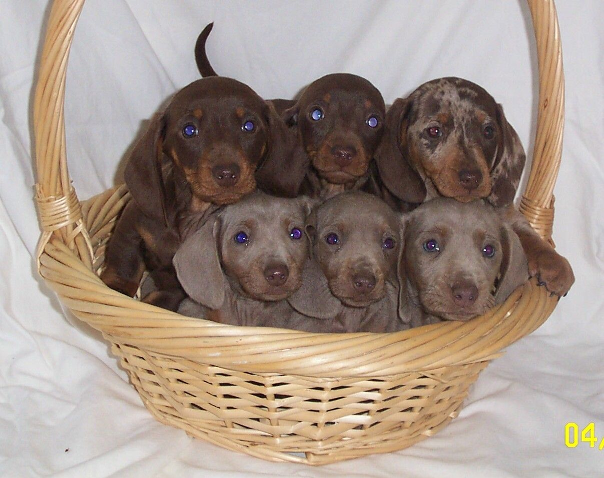 Mini Dashhounds Puppies New Litters Born 20 Beautiful Puppies