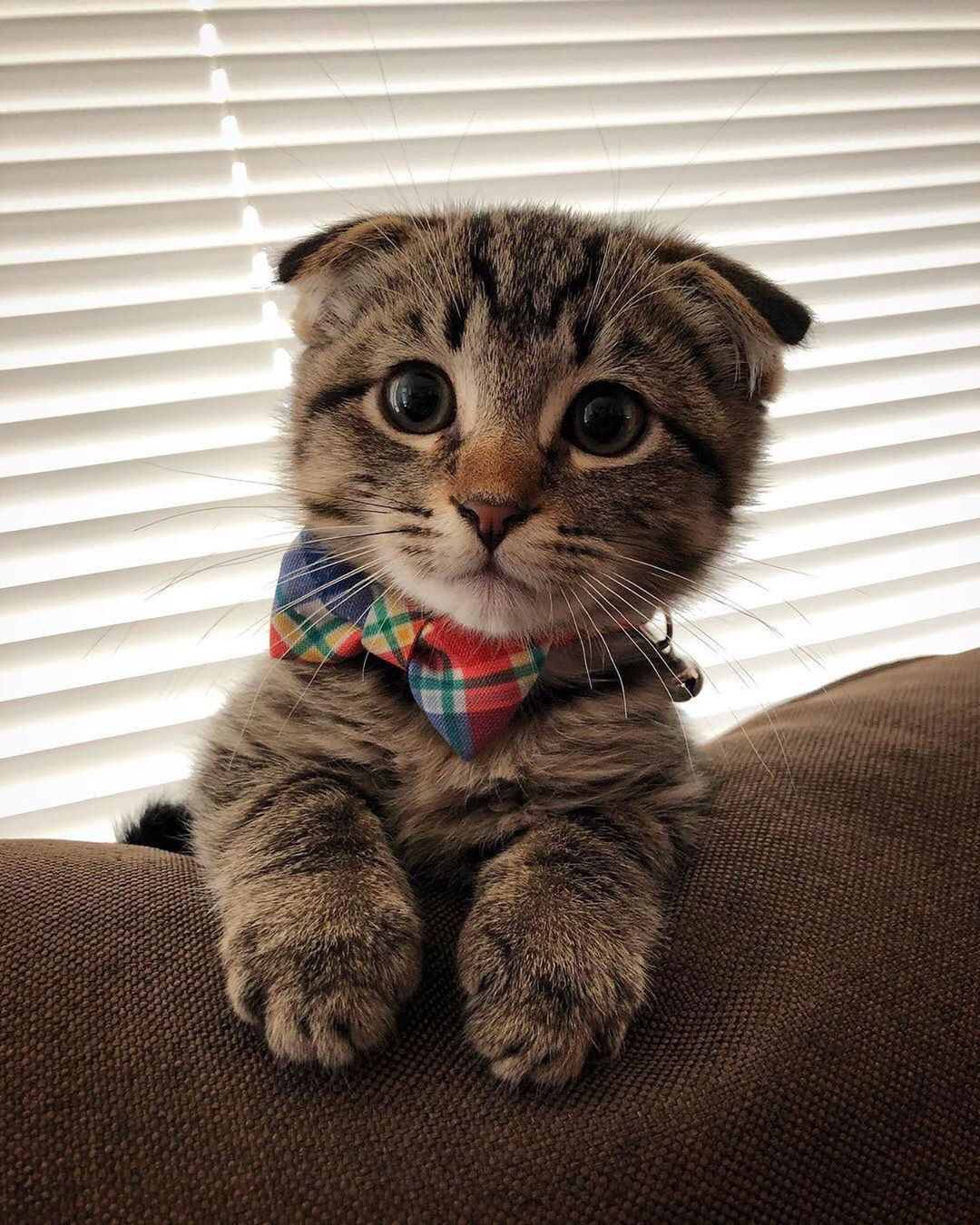 Travelling Through The World C On Instagram Would You Adopt Him Courtesy Of Wallytheseattlescotty Founder Kittens Cutest Cat Scottish Fold Cute Animals