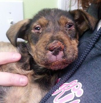 Lovables Abused Puppy Trying To Recover From Severe Chemical
