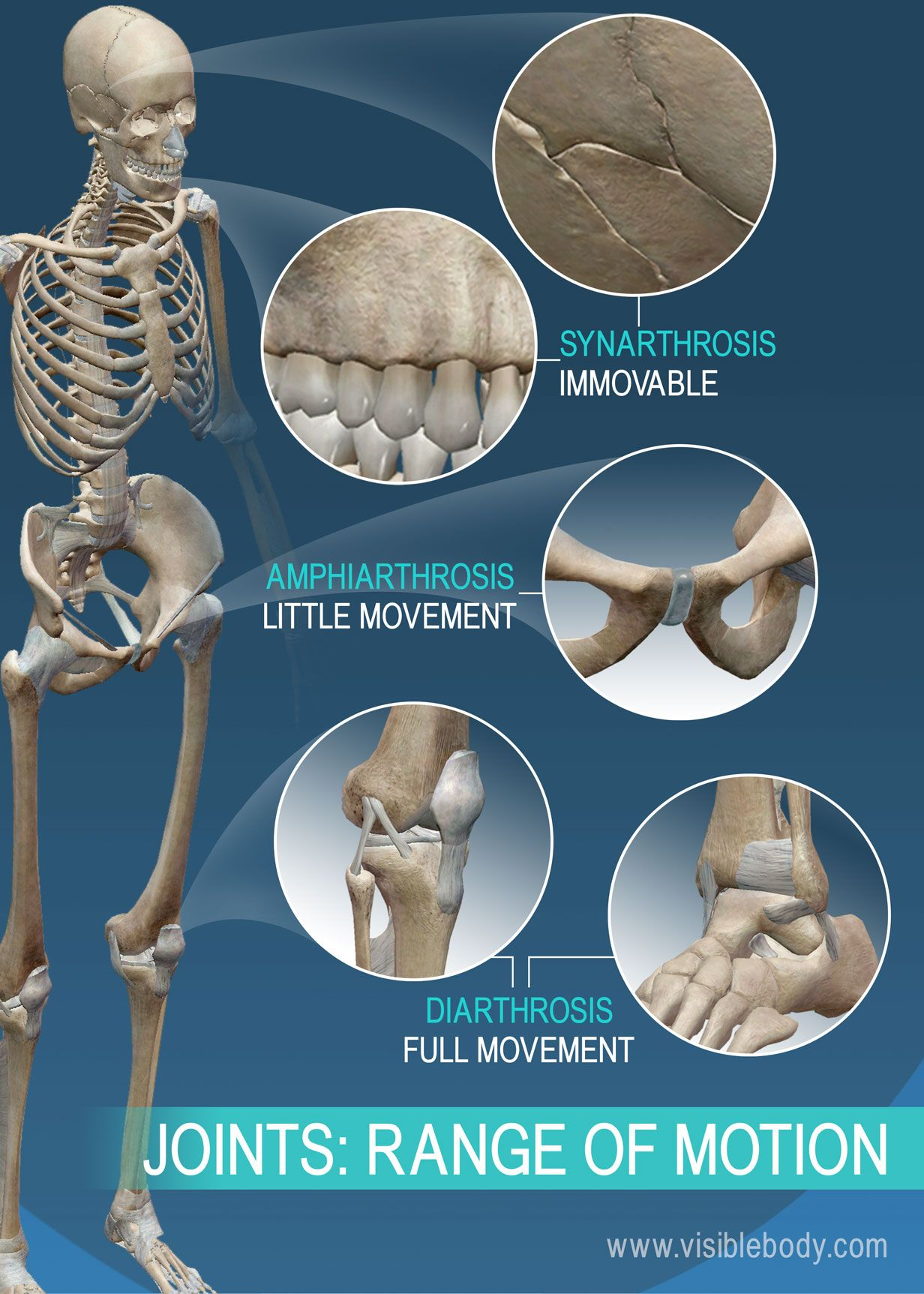 Joint Types Can Be Categorized By Range Of Motion Synarthrosis Amphiarthrosis And Diarthrosis