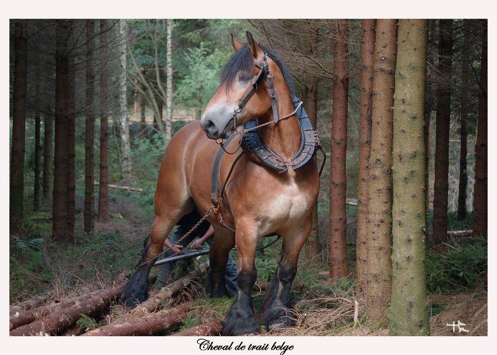 cheval de trait belge pour le d bardage animals pinterest. Black Bedroom Furniture Sets. Home Design Ideas
