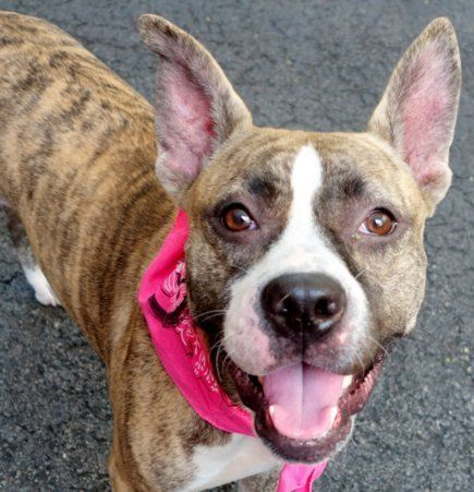 RETURNED 10/03/15 ––– SAFE 8-18-2015 ––– Manhattan Center DIAMOND – A1045467 FEMALE, BLACK / Y BRINDLE, AM PIT BULL TER MIX, 1 yr OWNER SUR – STRAY WAIT, NO HOLD Reason NYCHA BAN Intake condition UNSPECIFIE Intake Date 07/26/2015 http://nycdogs.urgentpodr.org/diamond-a1045467/