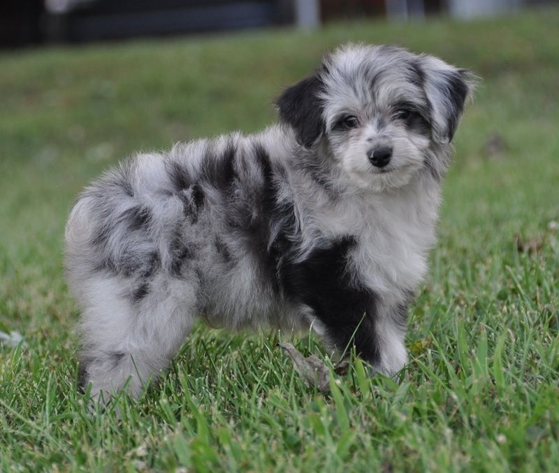 Aussiedoodle puppy mixed breed puppies australian