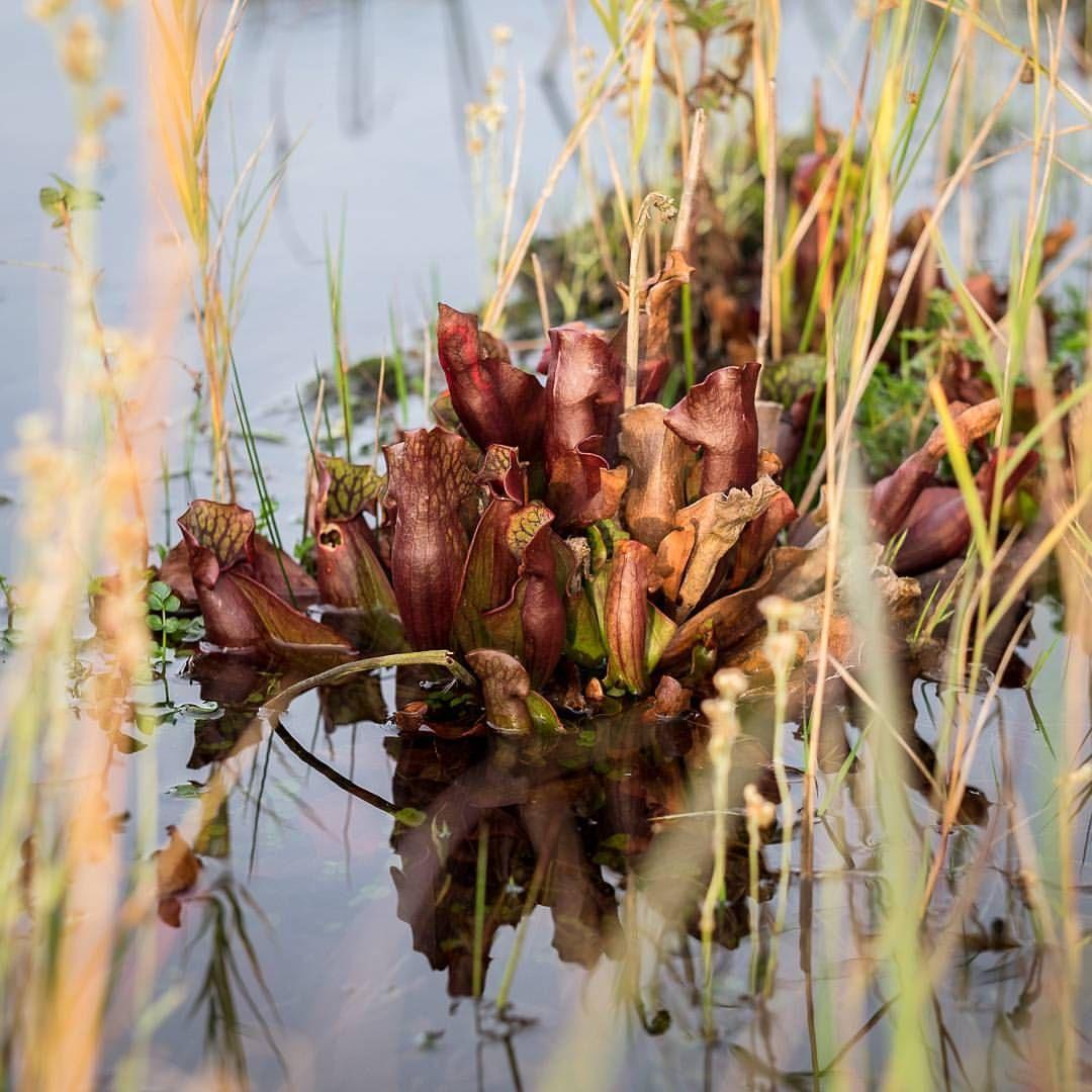 54 Likes, 1 Comments - Carnivorous plants nursery (@carni_flora) on ...