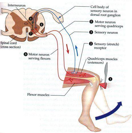 Leg reflex arc diagram electrical wiring diagram leg reflex arc diagram wiring info u2022 rh 149 28 9 5 explain the reflex arc ccuart Image collections