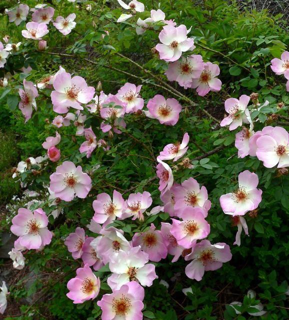 Hybrid Spinosissima Shrub Rose: Rosa 'Frühlingsmorgen' (Germany, 1942)