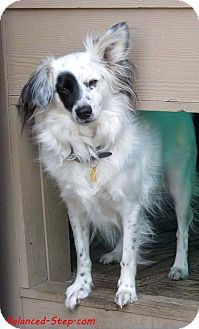 Seattle C O Kingston 98346 Washington State Wa Border Collie Papillon Mix Meet Curly A Dog For Adoption Http Www Adoptapet C Border Collie Collie Pets