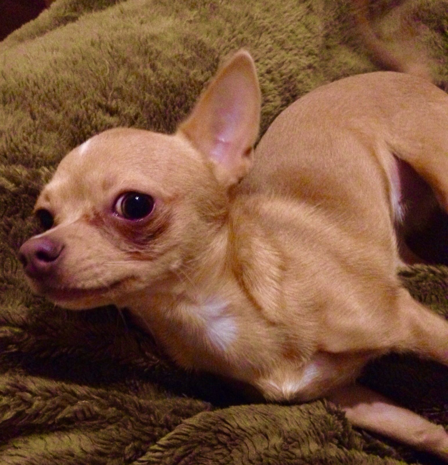 Pin Von Chihuahua Of Lovely Gang Auf Chihuahua Of Lovely Gang