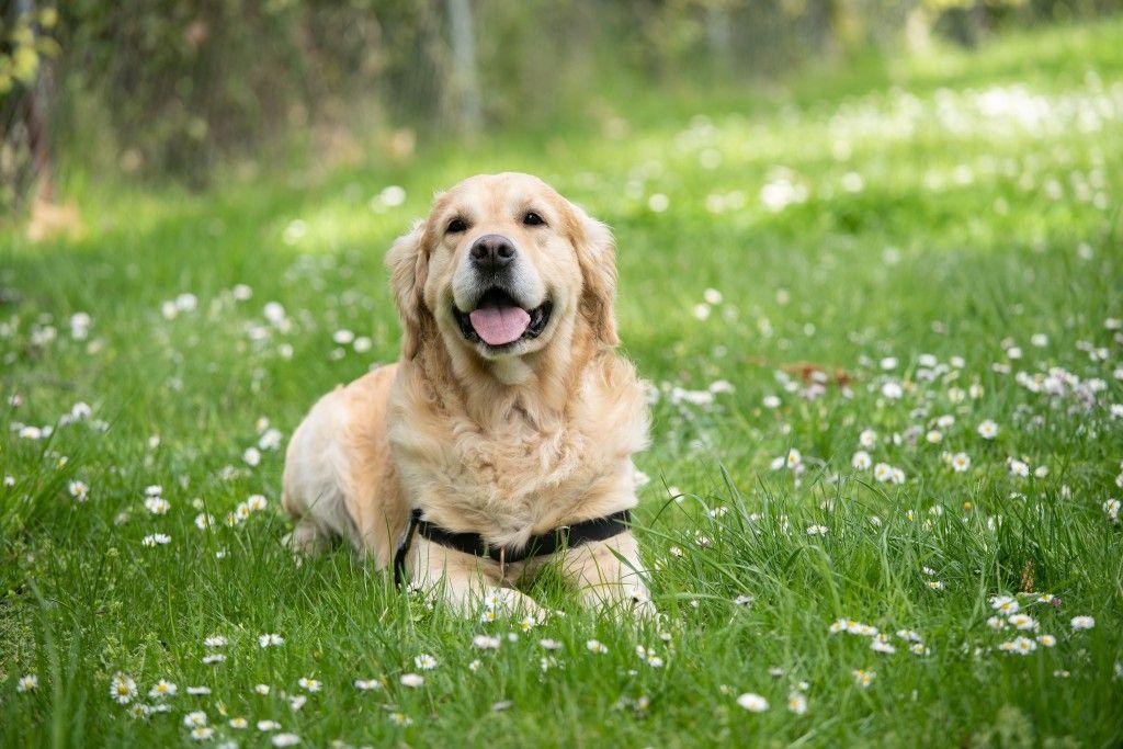 تفسير رؤية الكلب فى المنام لإبن سيرين ولإبن شاهين والنابلسي In 2020 Dog Instagram Captions Dog Pictures Golden Retriever
