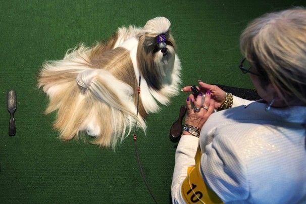 Westminster Kennel Club Dog Show 2013 Dog Show Shih Tzu Dog Dogs