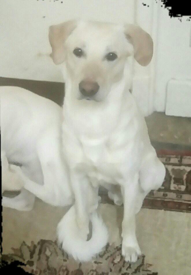 Adopt Gilly Budd Egypt On Labrador Retriever Adoption Labrador