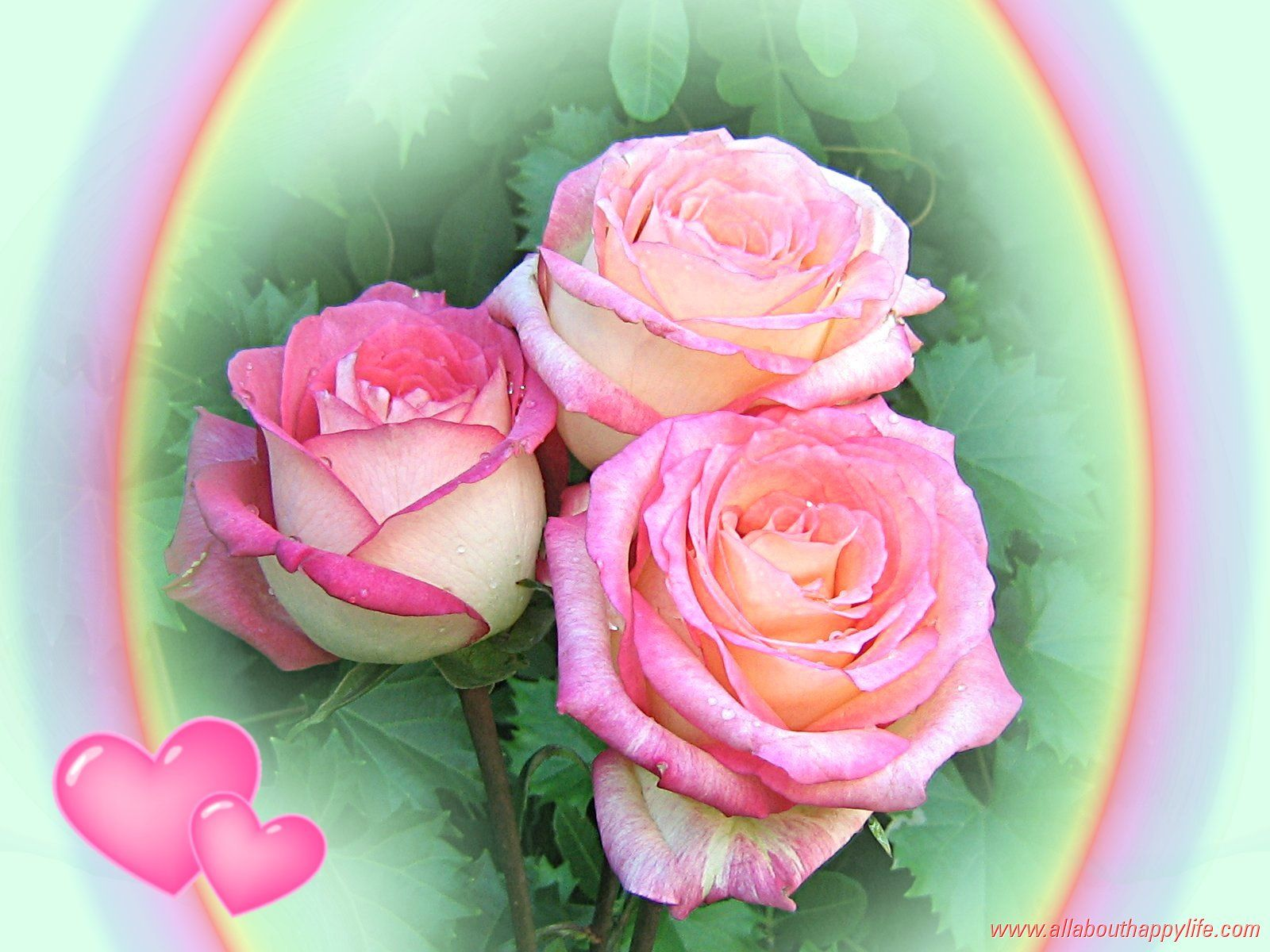 All Roses   pink roses   Love wallpaper, Rose, Hello friends images