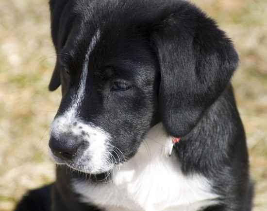 Border Collie Lab Mix Just Adopted A Little Guy Identical